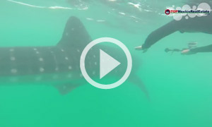 Swim with Whale Sharks - Cancun Real Estate - TOPMexicoRealEstate.com
